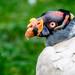 King Vulture - Sarcoramphus papa