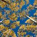 Lockett Meadow Aspens by mark willocks