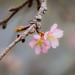 Cherry blossom . Sakura . 桜 の花 . 1148