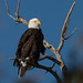 Lafayette CO Eagle by bgaines33