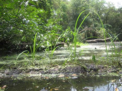 Grassy log bayou.