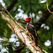 Crimson-crested Woodpecker (Campephilus melanoleucos) by ciaransmyth5