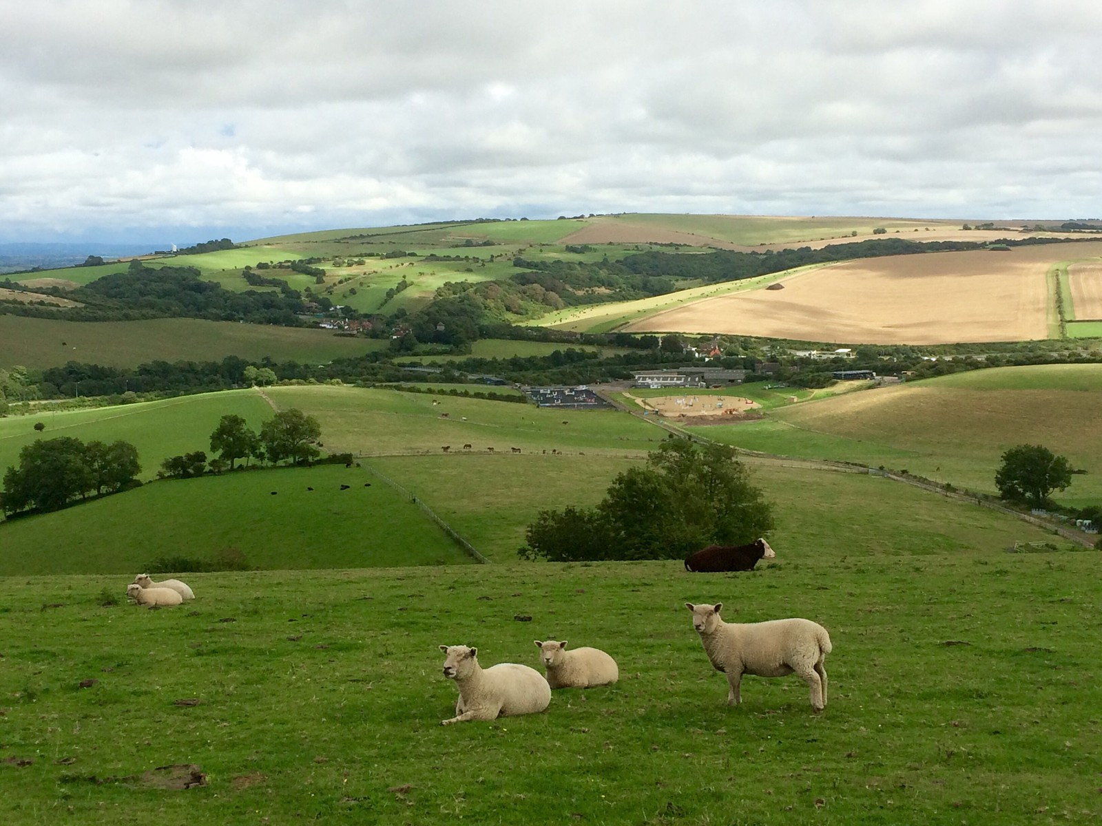 August 23, 2015: Hassocks to Devil's Dyke Sheep on the South Downs