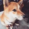 Awwww. #chibainu #puppy