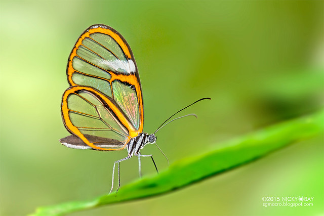 Glasswing butterfly (Greta sp.) - DSC_2993