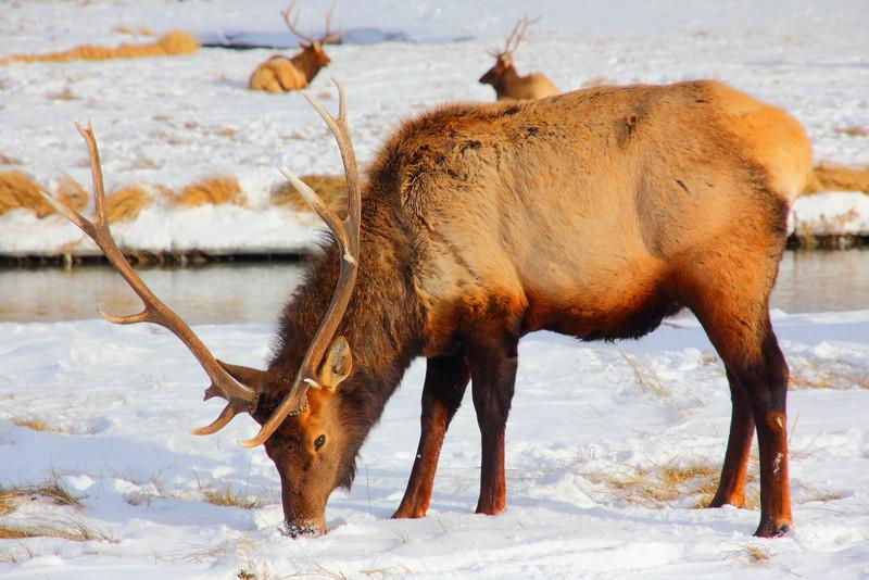 IMG_3909 Elk