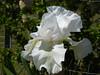 1P 770 White iris