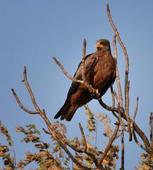 Yellow-billed Hawk, Madagascar