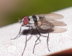 Fly Diptera Flies of Whitsunday Shire