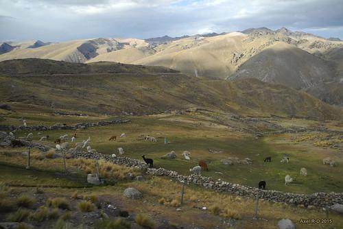 perú lama montagnes