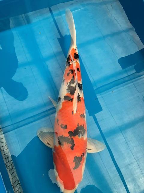 Ikeage update 3-Natsukoi SFF Sanke