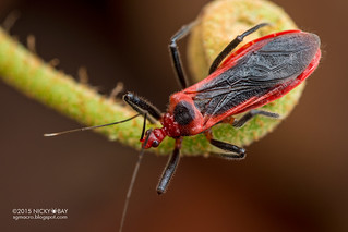 Assassin bug (Reduviidae) - DSC_7289