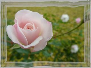 ~~ New November Roses 🌹~~