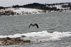 Golden Eagle at Georgetown Lake in Montana