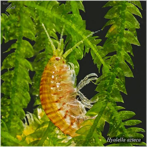 Hyalella azteca 22873012619_4fdc45787f