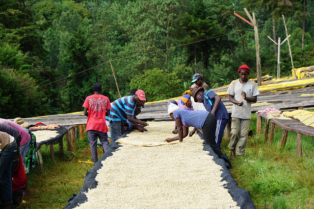 Sorting the parchement coffee as it's drying to get rid of defects