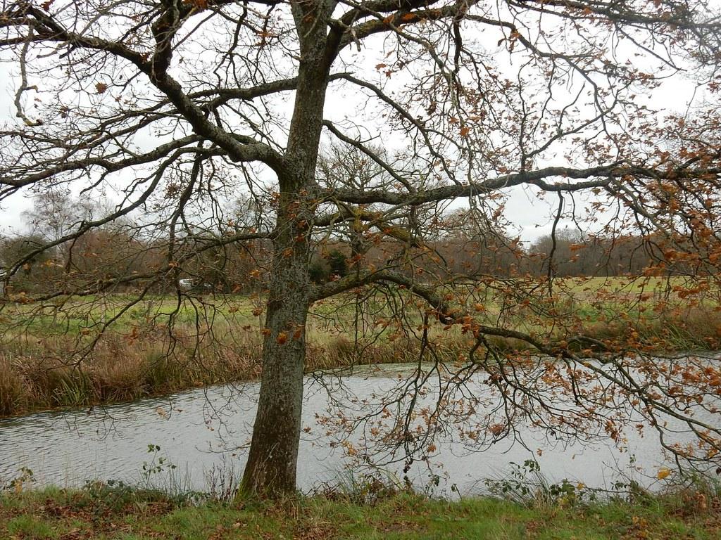 Tree by pond Leigh to Sevenoaks