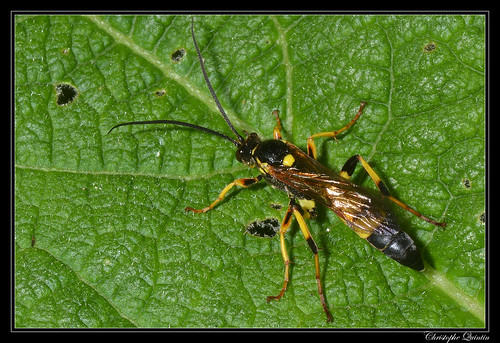 Ichneumon xanthorius mâle
