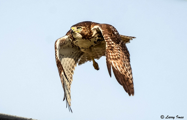 RED TAILED HAWK # 3