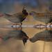 Water Rail (Rallus aquaticus) by Robin SS Lee