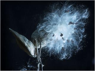 Milkweed seeds and pods