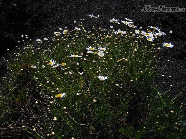 plants 0011 Tenerife, Canary Islands, Spain
