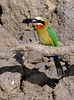 Bee Eater meal pt 1