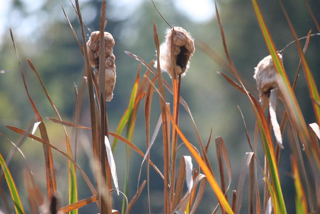 Puffy Cattails
