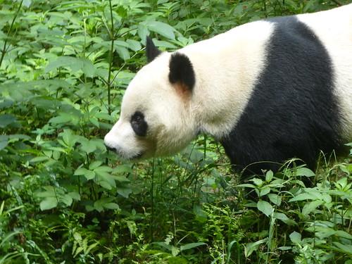 CH-Chengdu-Panda-géant (4)
