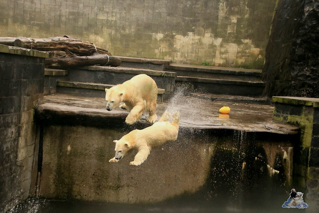 Eisbär Fiete im Zoo Rostock 17.10.2015  091
