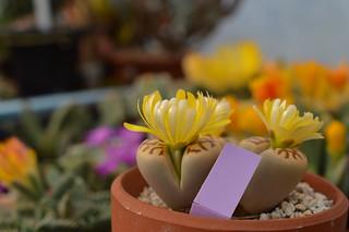 DSC_1490 Lithops dorotheae リトープス属 麗虹玉 (れいこうぎょく)