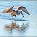 Reddish Egret ( Fishing ) by billkominsky 