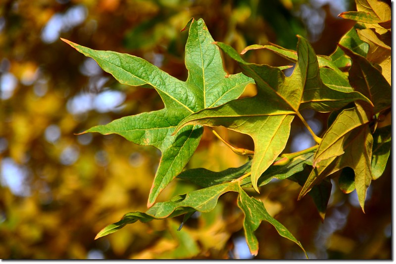 Arizona Sycamore (leaves)