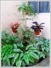 Mostly foliage plants at our courtyard, including Calathea elliptica 'Vittata', Nov 28 2015
