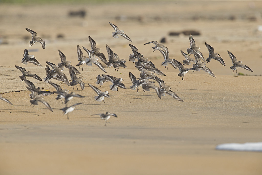 Sanderling and Sand Plover    Sri Lanka