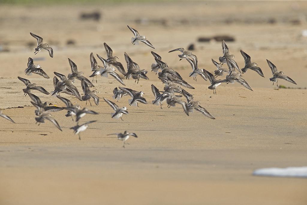 Sanderling and Sand Plover  Sri Lanka