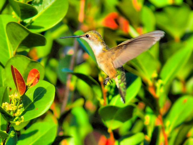 Ruby-throated Hummingbird HDR 20151202