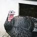 Turkey at Pasado's Safe Haven