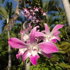 Dendrobium I