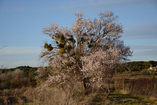 Prunus dulcis - amandier 32139870532_32a4ffa6c0_z