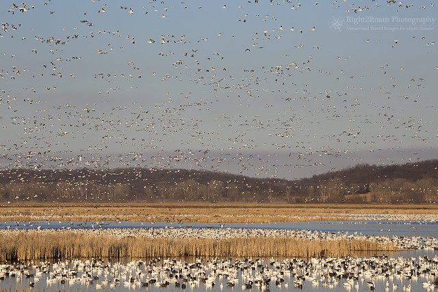 Return of the Snow Geese