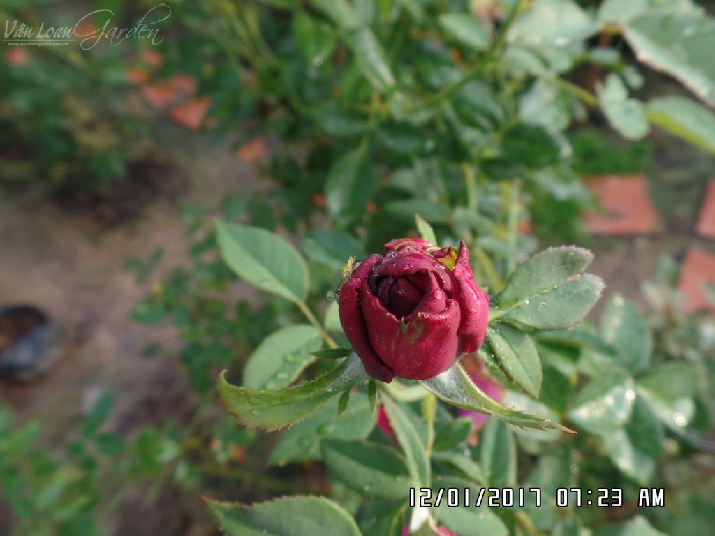 hoa hong ngoai the prince rose tai lang hoa sa dec (9)-vuonhongvanloan.com
