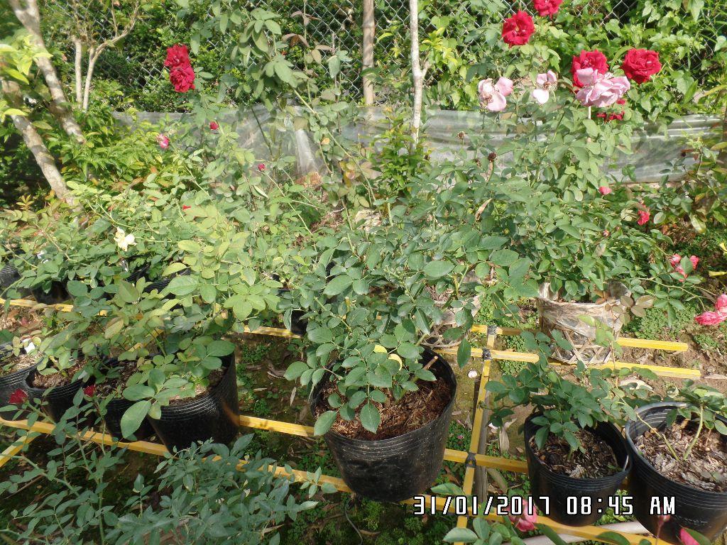 Vị trí này mỗi ngày có nắng từ 8h đến 15h thích hợp để các chậu hoa hồng phát triển