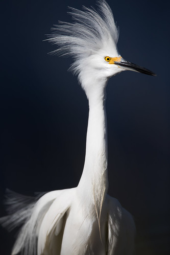 snowyegret egrettathula