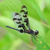 male Banded pennant, at a nearby lake by Vicki's Nature