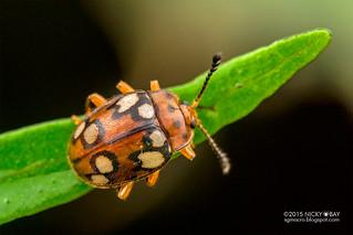Handsome fungus beetle (Endomychidae) - DSC_4126