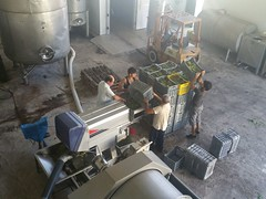 Semillon grapes crushing at Fikardos Winery, Cyprus wine