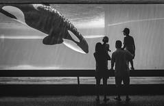 Orca Sighting