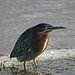 Green Heron Displaced By Flooding Water