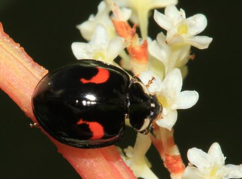 Ladybird 3764